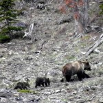 3 grizzlies