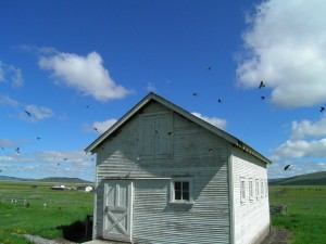 Cliff Swallows Haunt Barn