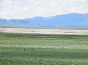 Grays Lake Sandhill Crane Flock