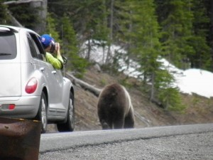 Cars follow Grizzly