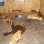 5 fawns