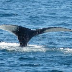 An Easier Way to Find a Good Whale Watch on the East Coast?