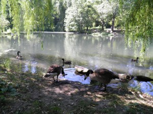 doomed geese