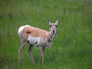 Friendly Pronghorn