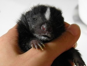 Milk faced skunk baby
