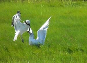 Gulls Tussle Over Snake