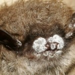Close-up of infected bat nose