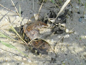 turtle carcass