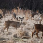 Valley Forge Deer by garmeni
