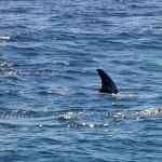 Risso's dolphin fin