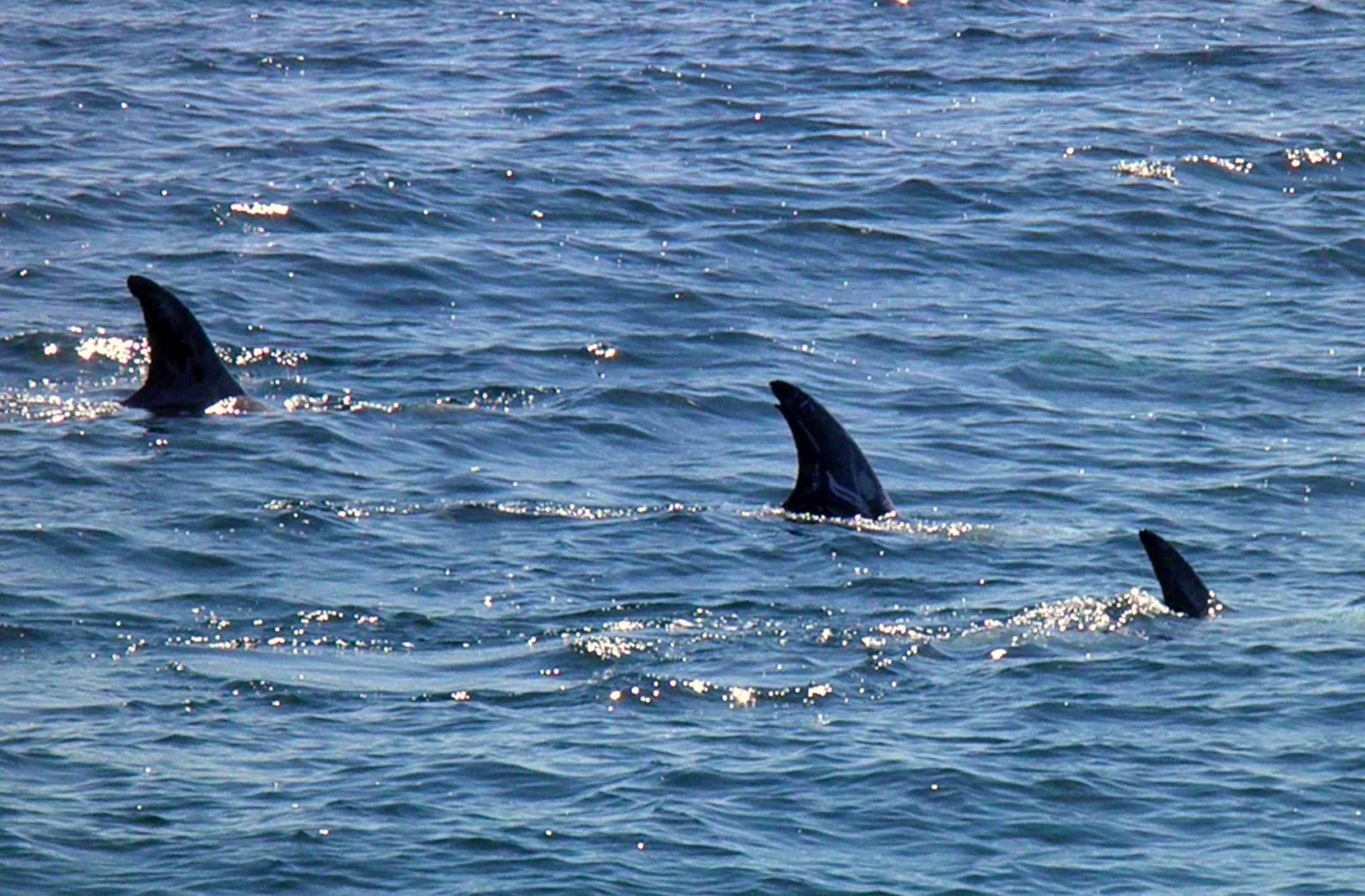 Dolphin fin