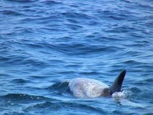 Risso's Dolphin, Grampus griseus