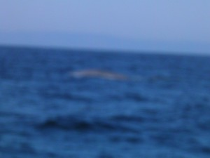 terrible blue whale picture