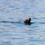 Sea Lion Marina Del Rey