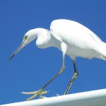 Delicate Snowy Egret