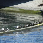 Pelicans and Anhingas, Ballona Creek