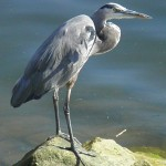 Blue Heron, Ballona Creek