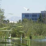 Freshwater Marsh, Ballona Wetlands