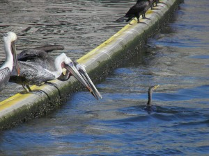 Pelicans annoyed with Anhinga, Ballona Creek
