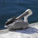 Grooming Pelican, Marina Del Rey
