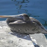 Resting Pelican Marina Del Rey