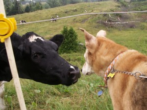 Jolly meets a cow