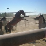 Wild horses headed to auction in Fallon, NM. Lifesavers bought them so they wouldn&#039;t be slaughtered. / Lifesavers Wild Horse Rescue