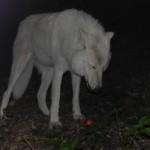 Atka, a show wolf