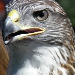 Ferringous Hawk