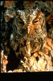 flammulatedowl