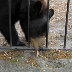 Popcorn Park Zoo Bear licks up peanut