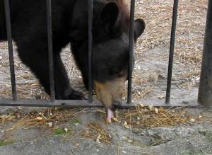 Popcorn Park Zoo Bear licks up peanut
