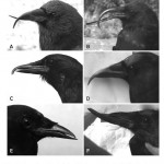 Beak Deformities, USGS