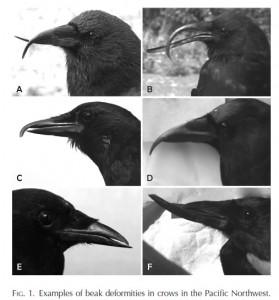 Deformed Crow Beaks Reach Chernobyl Like Proportions In Alaska