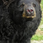 Popcorn Park Zoo Black Bear Nose