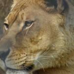 popcorn park zoo lioness face