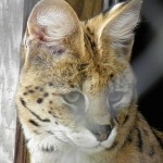 Popcorn Park Zoo Cat