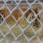 Popcorn Park Zoo Tiger