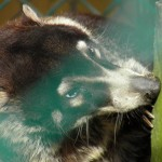 Popcorn Park Zoo Coati Cocoa