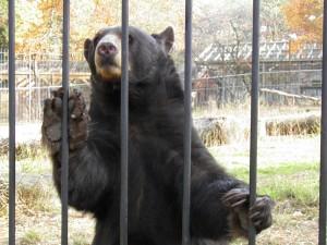 Popcorn Park Zoo Black Bear Sister Sits Up