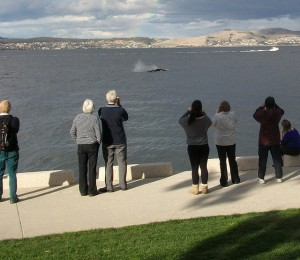 Right whale calf born in Derwent River, Hobart, Tasmania