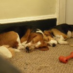 Sleeping Beagles