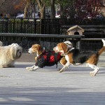 Moxie and Huck love playing at the Tompkins Square Dog Run