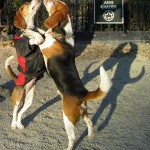Waltzing Beagles