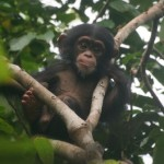 FLANLE  (born in 2007 male) is part of the Bossou chimpanzee community. T. HUMLE