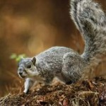 Delmarva Fox Squirrel (Sciurus niger cinereus) / Special to News Journal/KEVIN FLEMING