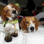 beagles on a bed