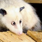 Heidi the cross-eyed possum, 2008-2011