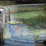 Captive manatees getting fed at Homosassa Wildlife Park