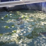 Manatee juveniles eat cabbage